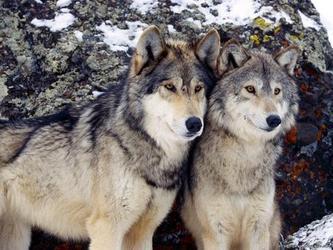 狼的爱情是过命的交情(下)