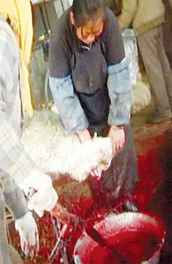 屠宰场装卸工冷库里对着羊肉撒尿(组图)