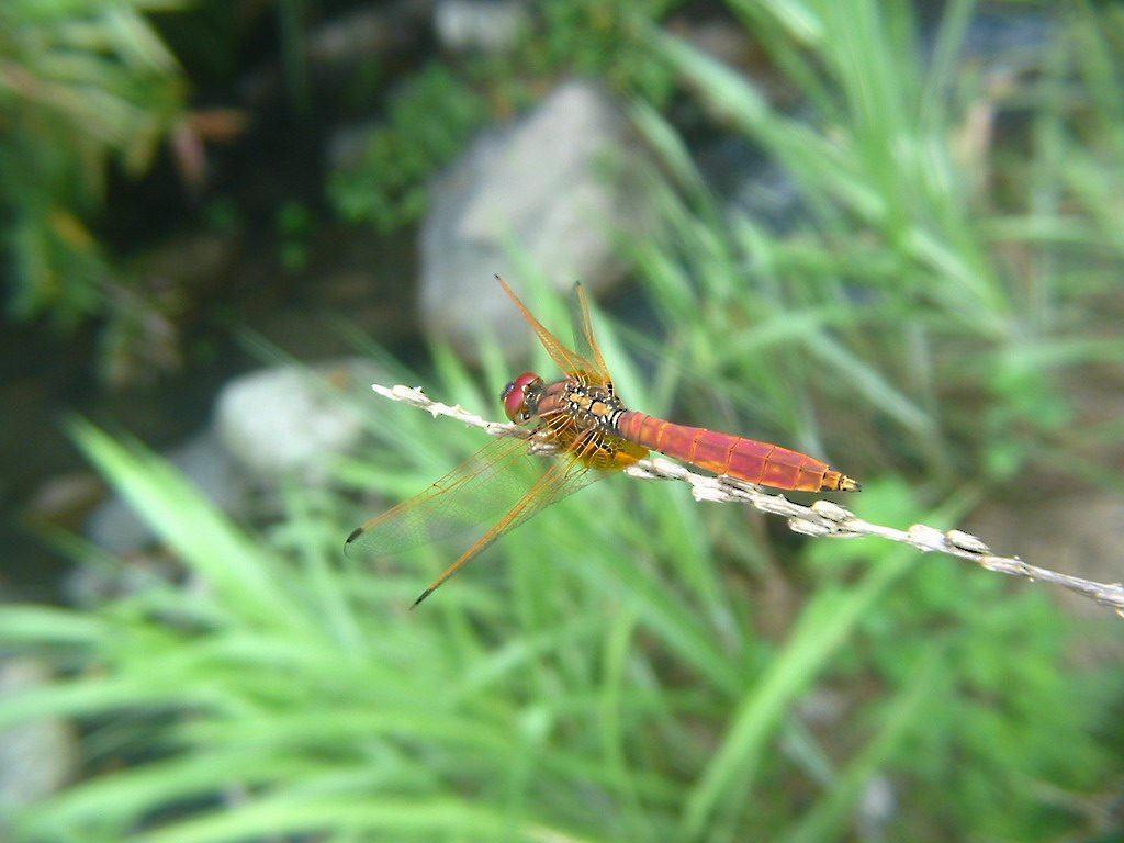 蜻蜓点水 用眼睛捕捉美丽 - 五味子 - 我家的博客