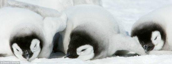 企鹅动人生活瞬间(组图) - 诸葛算术 - 诸   葛   算   术