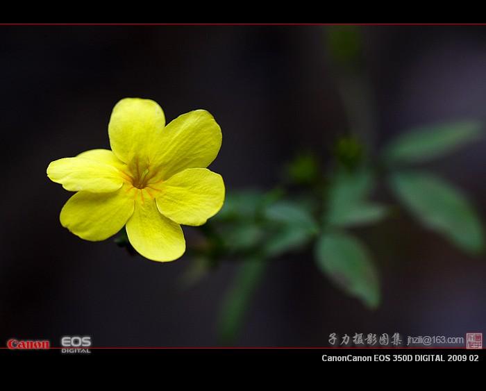 [原创] 迎春花 - 子力 - 子力摄影图集