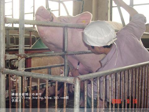 猪前腔静脉采血技术带图片 - 非著名兽医王清玉 - 非著名兽医王清玉博客