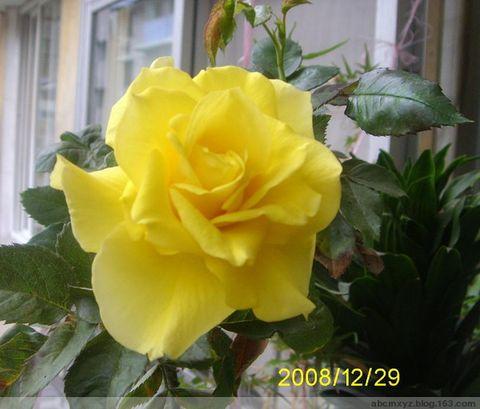 蔷薇吟(原创) - 憨憨 - 寻春