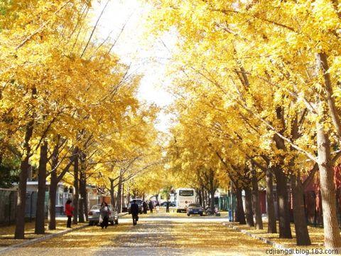 京城飞舞黄金叶 - 西地笺儿 - 健康和摄影-西地笺儿的博客