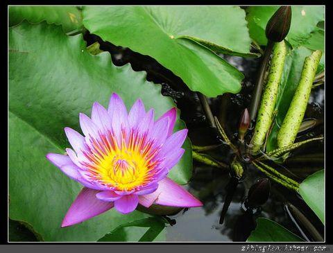 [莲的故事之二]如梦青莲 - 紫冰兰 - 莲心苑.紫冰兰