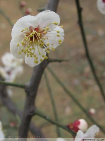 (原创摄影)梅 - dlmtkly - 爱美树:在光里寻觅☆在影里迷失!