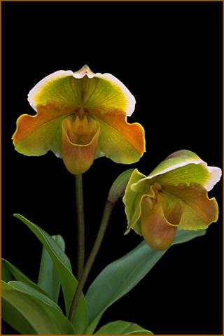 珍稀兰花 - hhj62429 - 绿韵的博客
