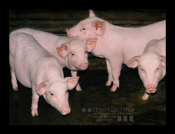 【原创摄影】_家禽·村娃子·墟日 - 柠檬棒棒糖 - 柠檬棒棒糖的田园