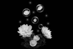 黑色背景插画.莲花 - 香儿 - 香儿