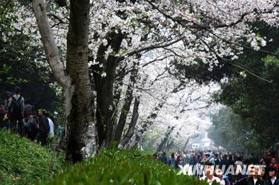 """假如""""穿和服拍樱花照""""的真是日本人  - 盛大林 - 盛氏微言"""