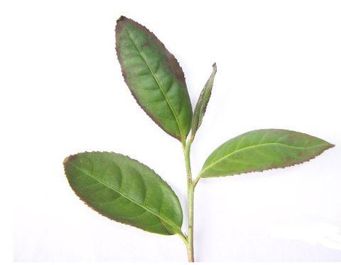 引用 铁观音茶叶的制作流程学习的 - xiaoxin - 小心的天堂,有风,有雨,有阳光还有