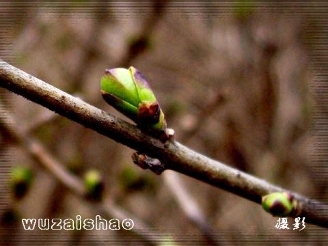 【摄影】春暖芽先知 - 无再少 - 无再少的博客