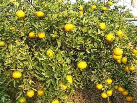 伊予柑越冬栽培试验第一次取样 - 清扬 - 花果飘香