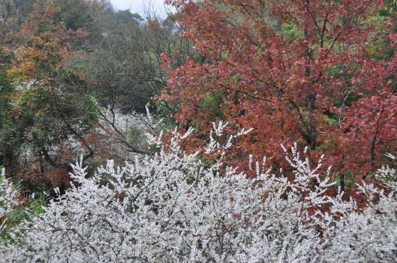 元月9号冬日的溪头村正是李花开灿烂时 - julinju2008 - 邻居千色自由行