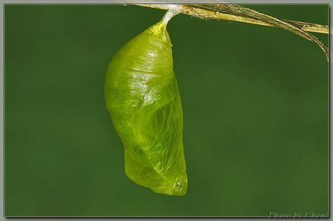 变幻的蝶蛹 - Cheni - Cheni的蝴蝶馆