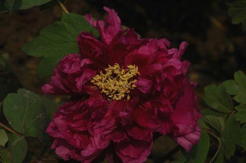 [摄影原创]牡丹--花中之王 - hitcdw - hitcdw摄影、旅游
