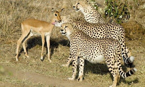 三只非洲猎豹抓住小羚羊玩耍后放生 - rszx - 容山中学官方博客