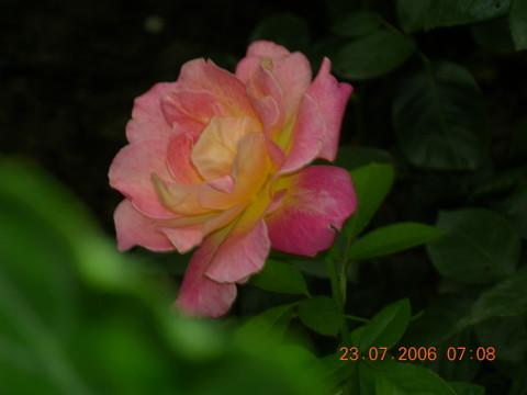 深夜,一枝玫瑰 - 余音 - 汀兰小居