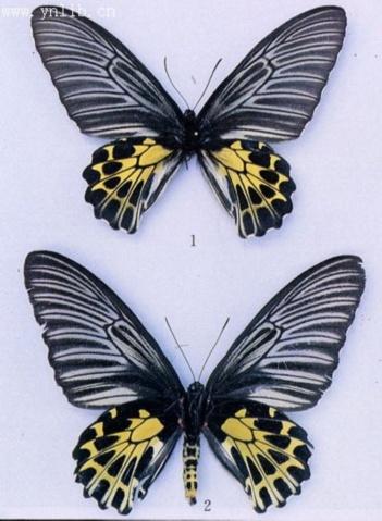 在花上右边折翼蝴蝶-雌蝶的翅膀与雄蝶类似,但是金黄色后翅面有亚缘斑列,而斑与斑之间图片