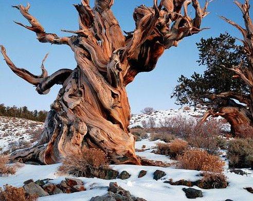 玛士撒拉树