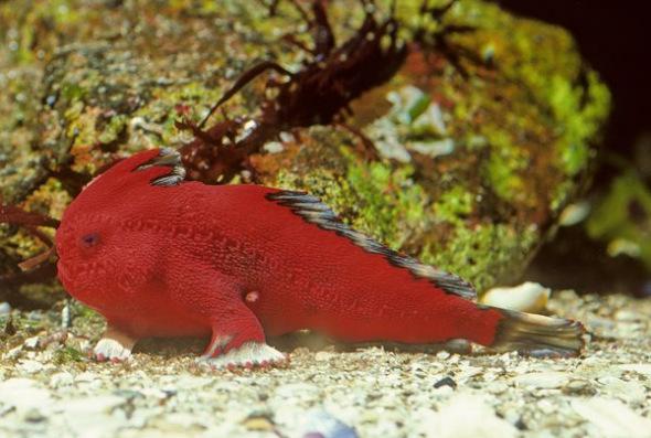 红色长手鱼