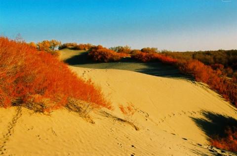 红柳赞(疏勒河的红柳原创) - 疏勒河的红柳 - 疏勒河的红柳