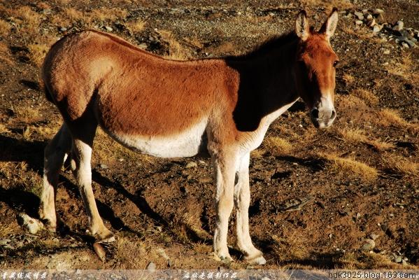 [摄影.原创] 青藏线(四十九)可可西里之西藏野驴13P  - 扁脑壳 - 感悟人生