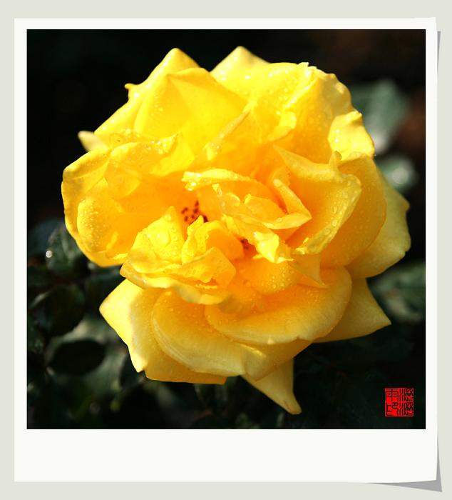 冬日玫瑰(二) - 沥沥雨 - 沥沥雨的博客