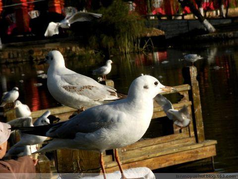 旅游连续剧第四集----昆明海鸥篇 - 蓝魔大叔 - 悲情的蓝魔