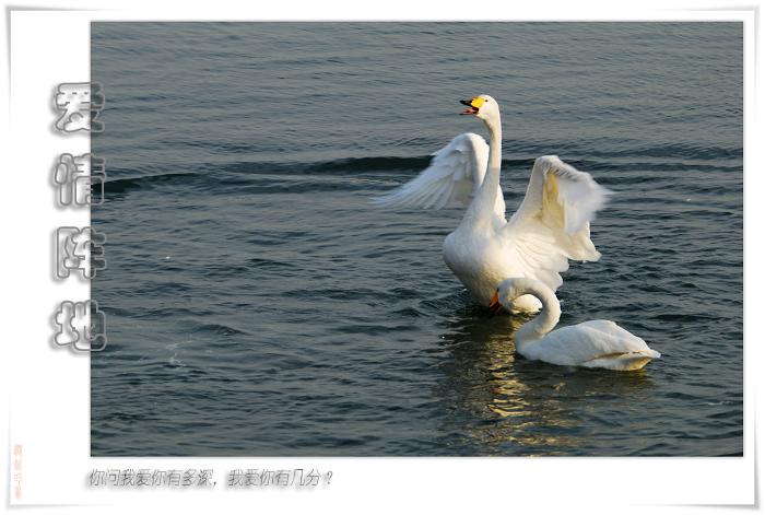 [原创]鸟影08天鹅——爱情阵地 - 迁徙的鸟 - 迁徙鸟儿的湿地