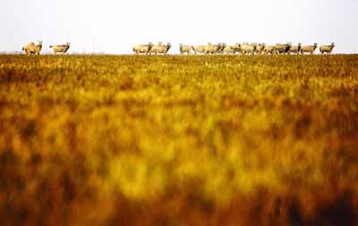 湖南洞庭湖现28只麋鹿 109年前在中国绝种(图) - gunwww - gunwww的博客