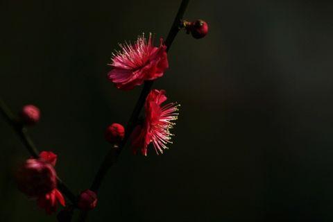 梅    花 - 江南风 - 江南风博客