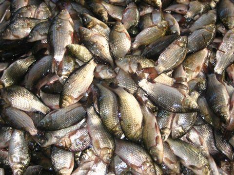 乌苏里江的淡水鱼(原创) - 陈军创建的 - 陈军创建的