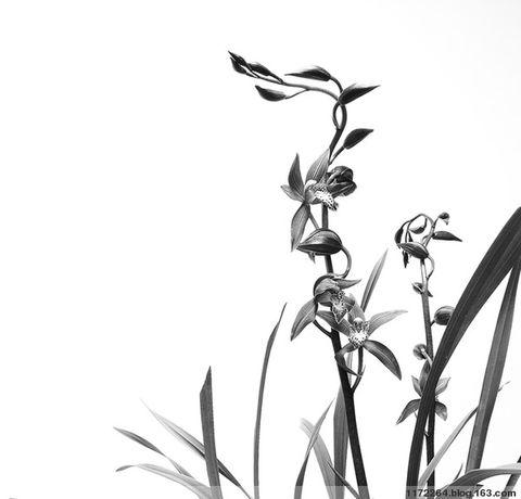 兰花矢量图黑白
