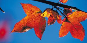 红叶给海南增添了色彩 - 李少君 - 李少君的博客