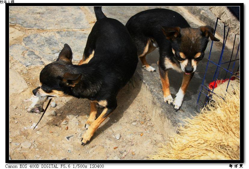 [原创摄影]狗拿耗子 - 玉树牧羊人 - 玉树牧羊人的博客