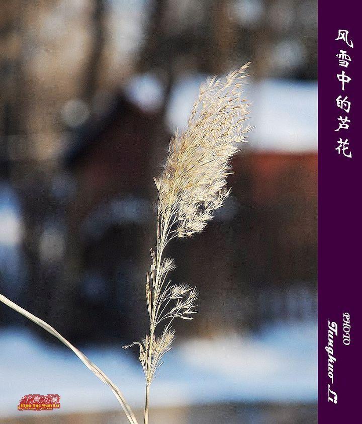 风雪中的芦花(PIC Original) - 千淘万漉 - 千淘万漉 de 花果山
