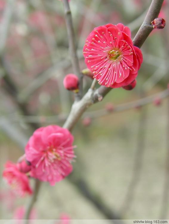 红梅迎春续集(原创16幅) - 阿坤 - 阿坤的博客---纪实摄影家园