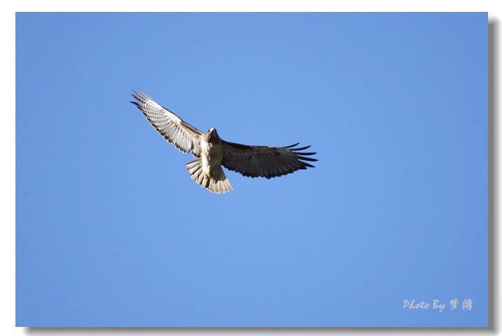 猛禽----鹰 - 红海滩 - 红海滩古玩综合博客
