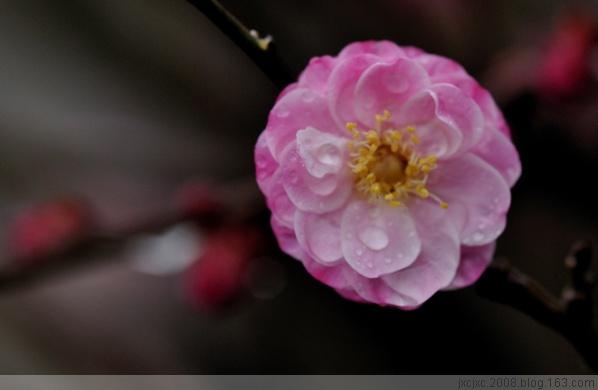 [原创]红梅花儿红 - 雪山老人 - 雪山老人的博客