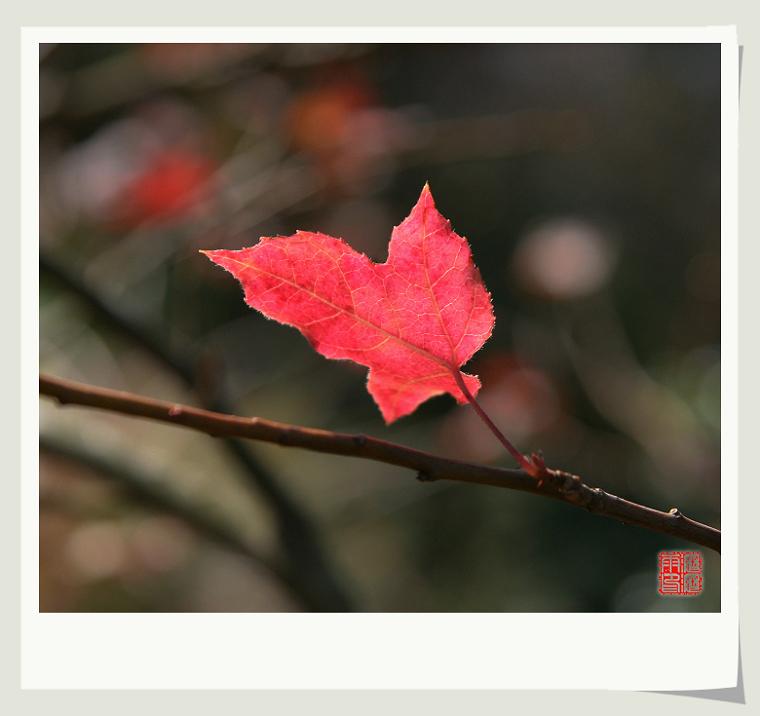红枫遗英 - 沥沥雨 - 沥沥雨的博客