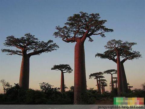 全球十大最壮观的树 - 青松不老 - 枝繁叶茂!祝愿祖国繁荣昌盛!!