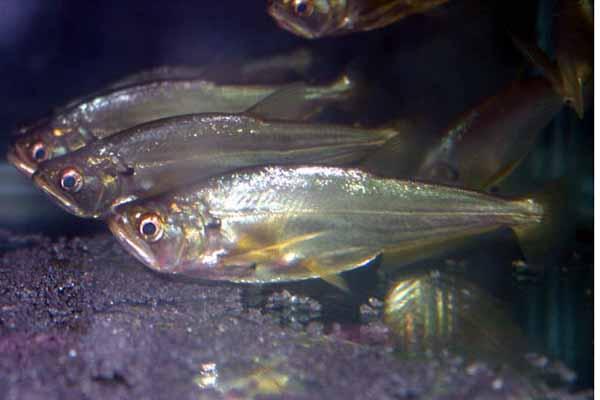 肉食性加拉辛---暴牙类介绍 - x-999 - 牧 鱼 水 族