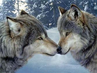 狼的爱情是过命的交情(上)