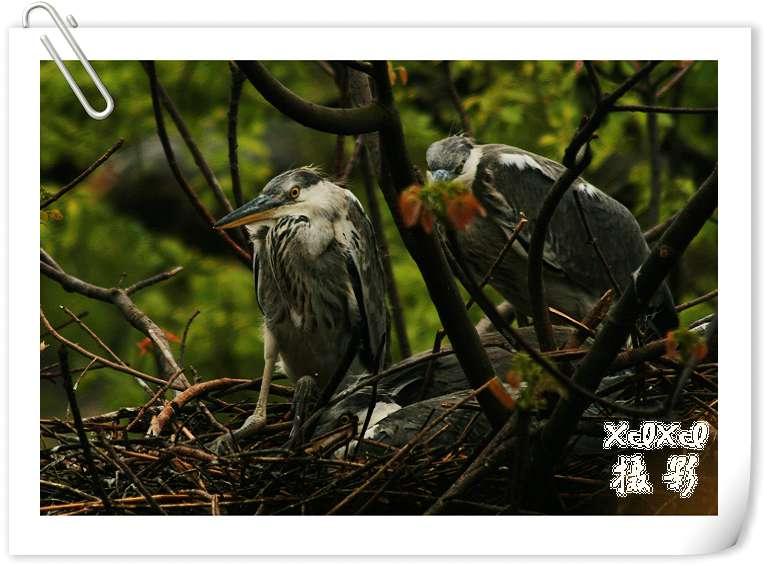 """【苍鹭拍摄记】——""""给鸟一个家"""" - xixi - 老孟(xixi)旅游摄影博客"""