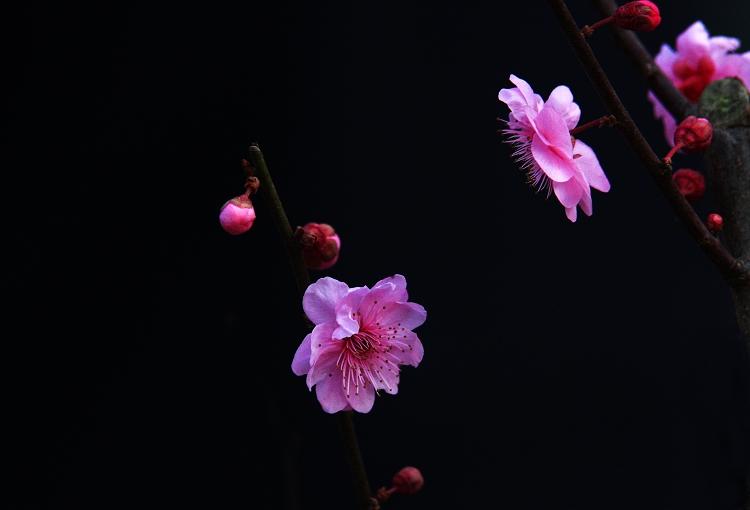 (原创摄影)桃花 - 刘炜大老虎 - liuwei77997的博客