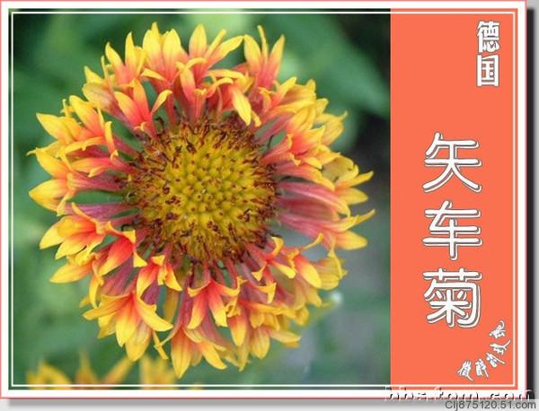 引用 引用 各个国家的国花 - 山泉 - 山泉的博客