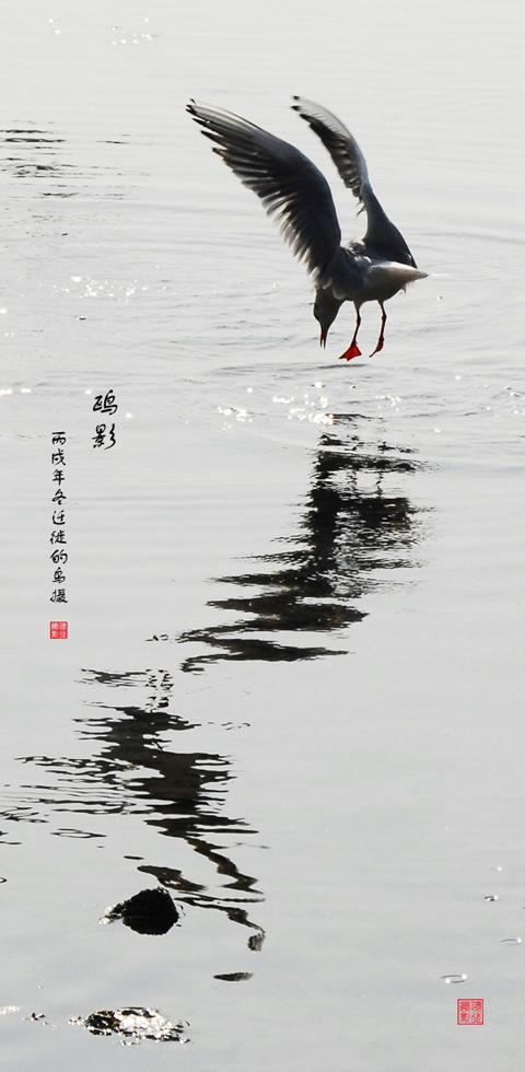 [原创]鸟打鸟海鸥系列——鸥影 - 迁徙的鸟 - 迁徙鸟儿的湿地