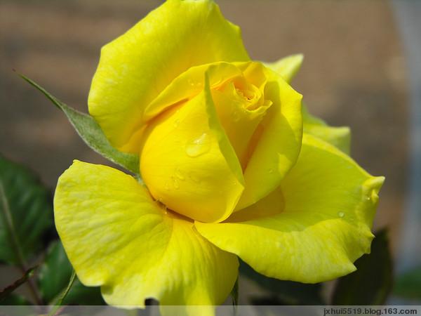 美丽的玫瑰花【收藏】 - 我心飞扬 - 【心灵驿站】