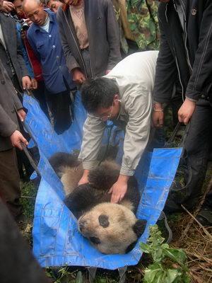病危野生大熊猫地震后下山引发悬念(图)
